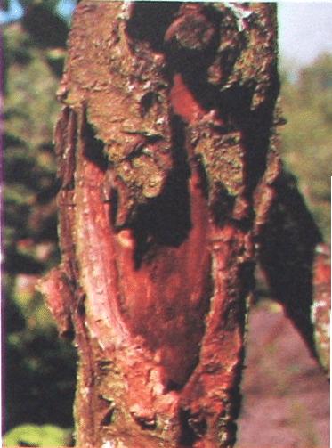 Болезнь дерева