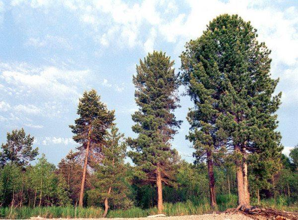 Энергетический донор в царстве деревьев