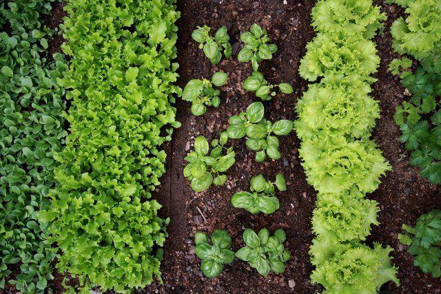Подбирайте правильно соседей для овощных культур