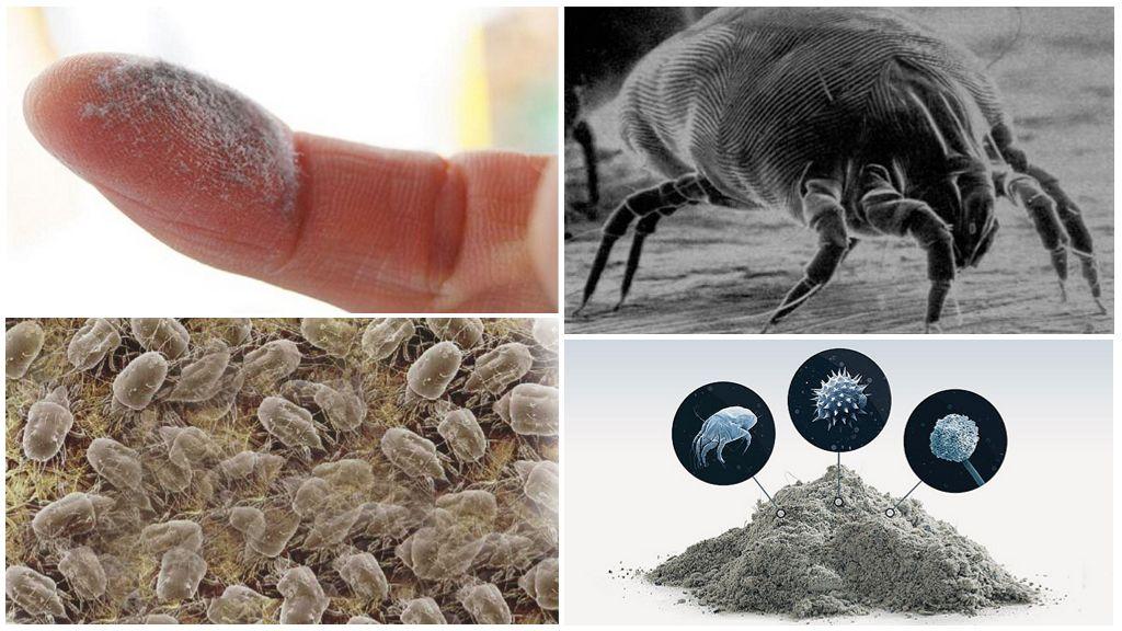 Жители пыли – пылевые клещи.