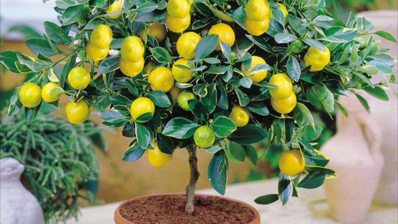 Лимон – очень полезное домашнее растение.