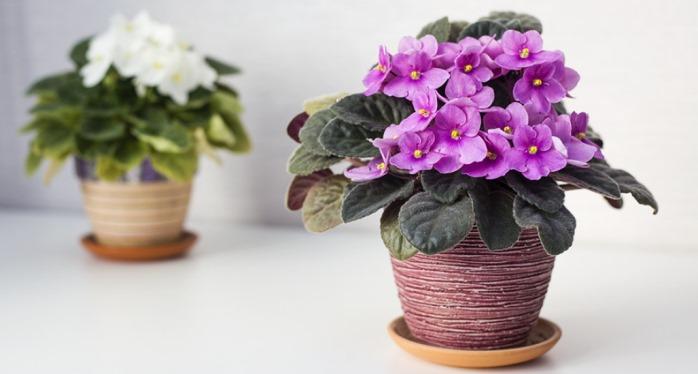 Аккуратные цветы фиалки, видимо, не спроста привлекают многих.