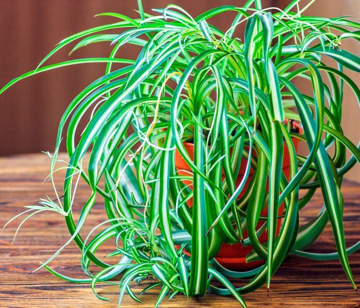 Полезное для поддержания чистоты воздуха растение – хлорофитум.