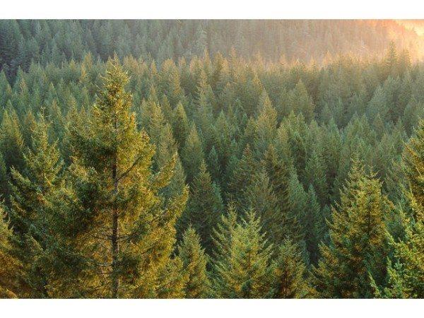 Фото хвойного леса – основного поставщика пиломатериалов